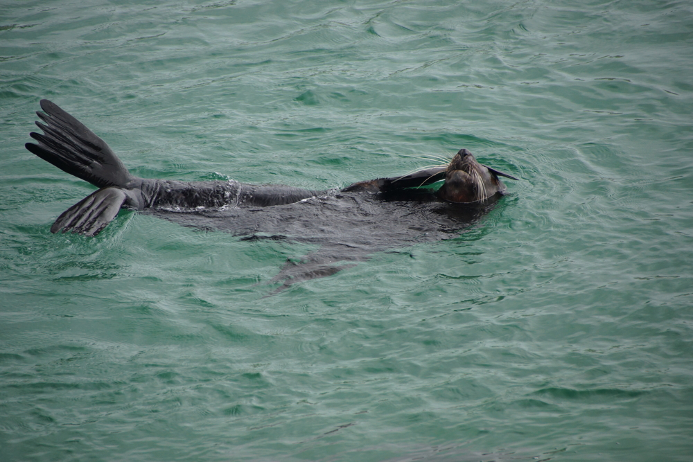 Seal at Narooma